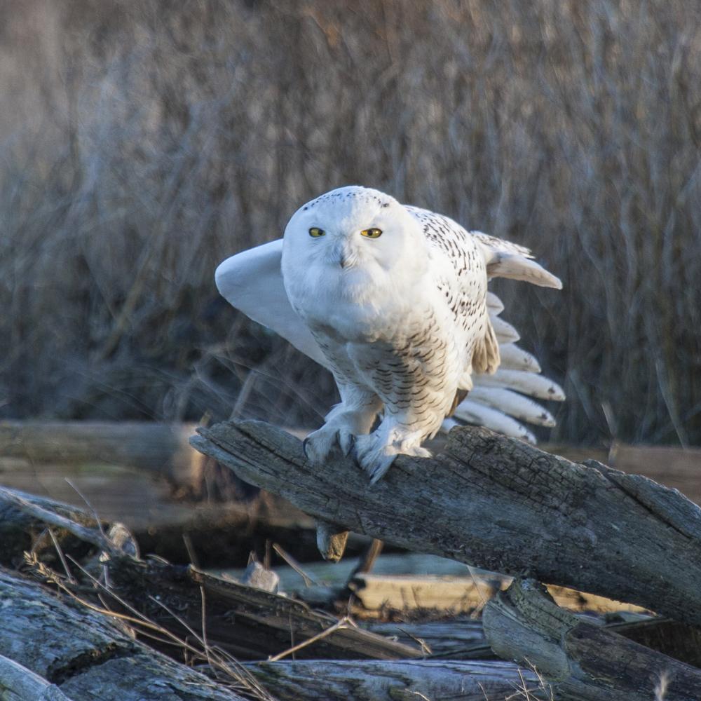 2012 01 Snowy Owls-4.jpg