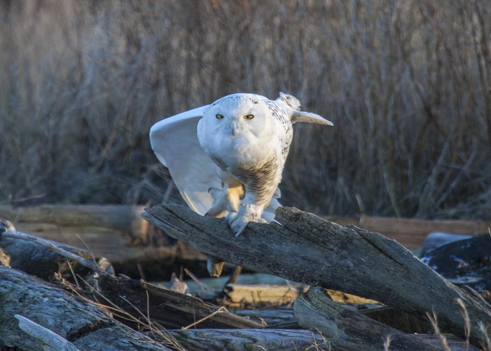 2012 01 Snowy Owls-5.jpg