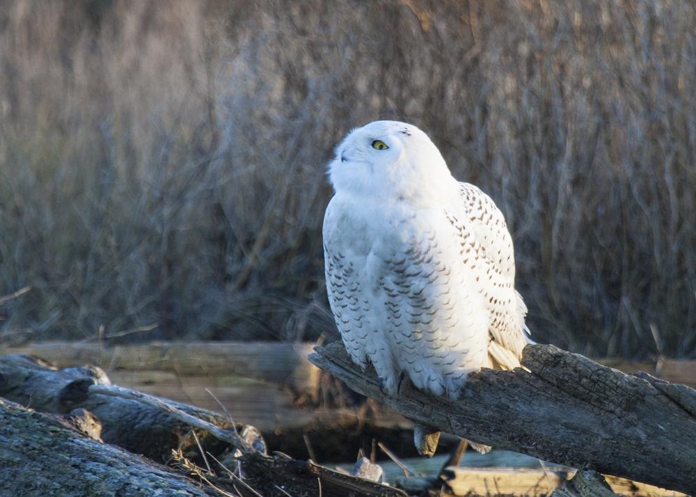2012 01 Snowy Owls-6.jpg