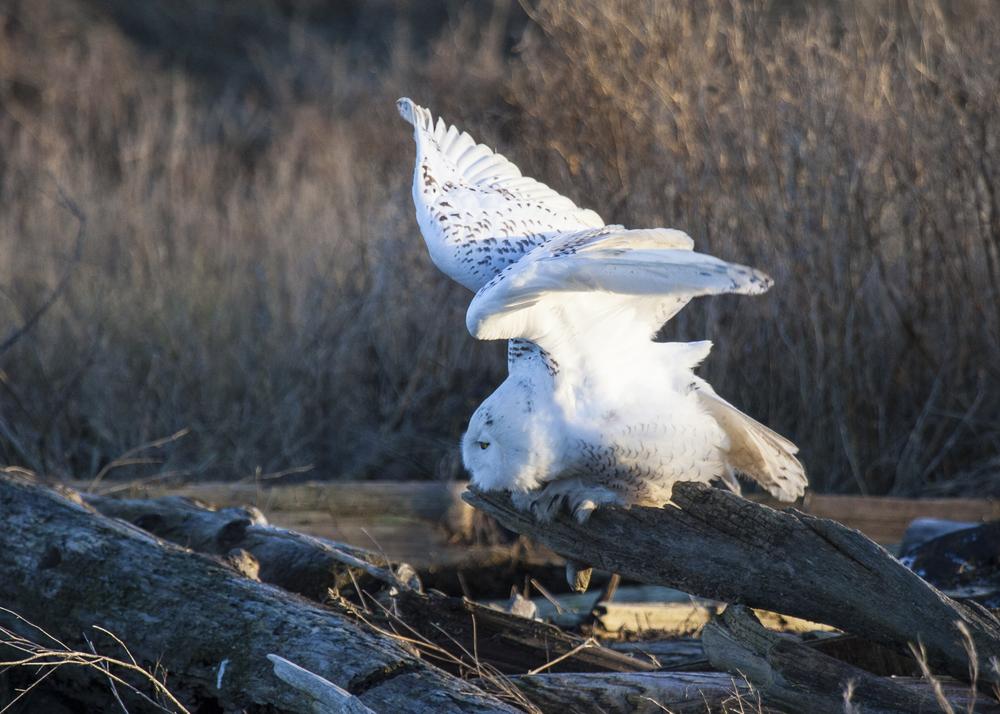 2012 01 Snowy Owls-7.jpg
