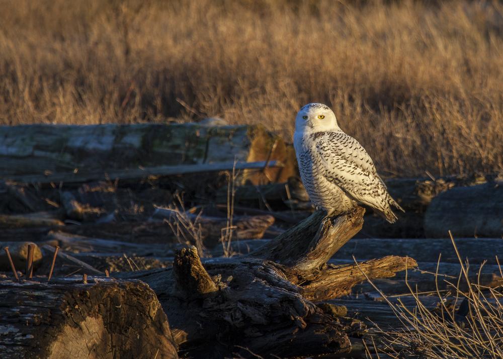 2012 01 Snowy Owls-8.jpg