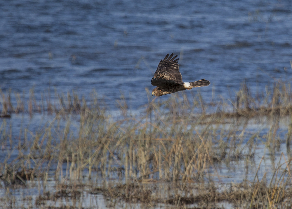 A Northern Harrier patrolling the marsh along the Fraser River.