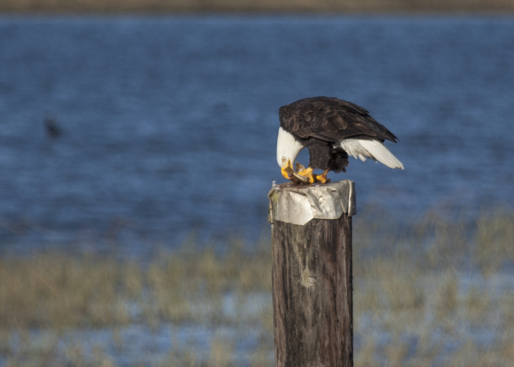 The bald eagle, eating a fish.