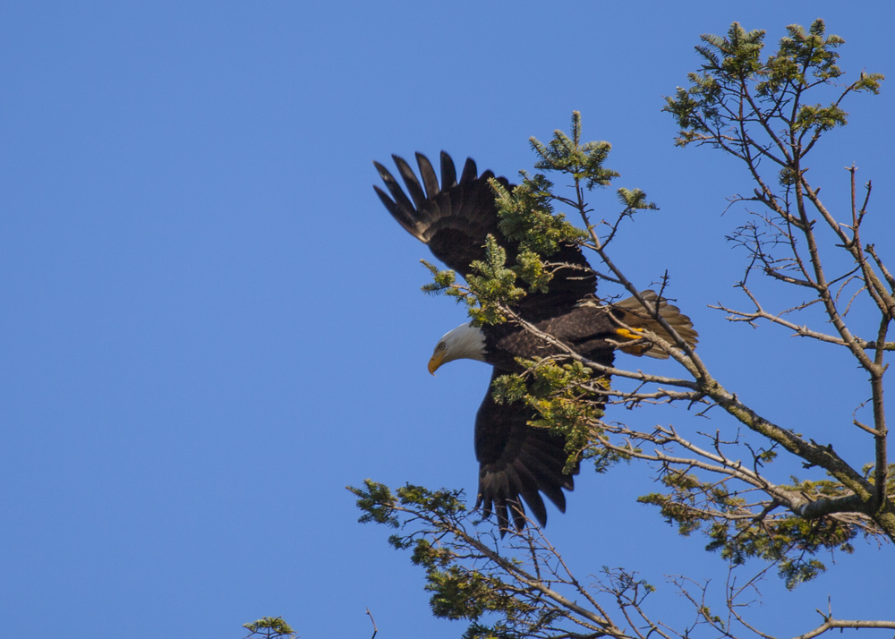 Another bald eagle!