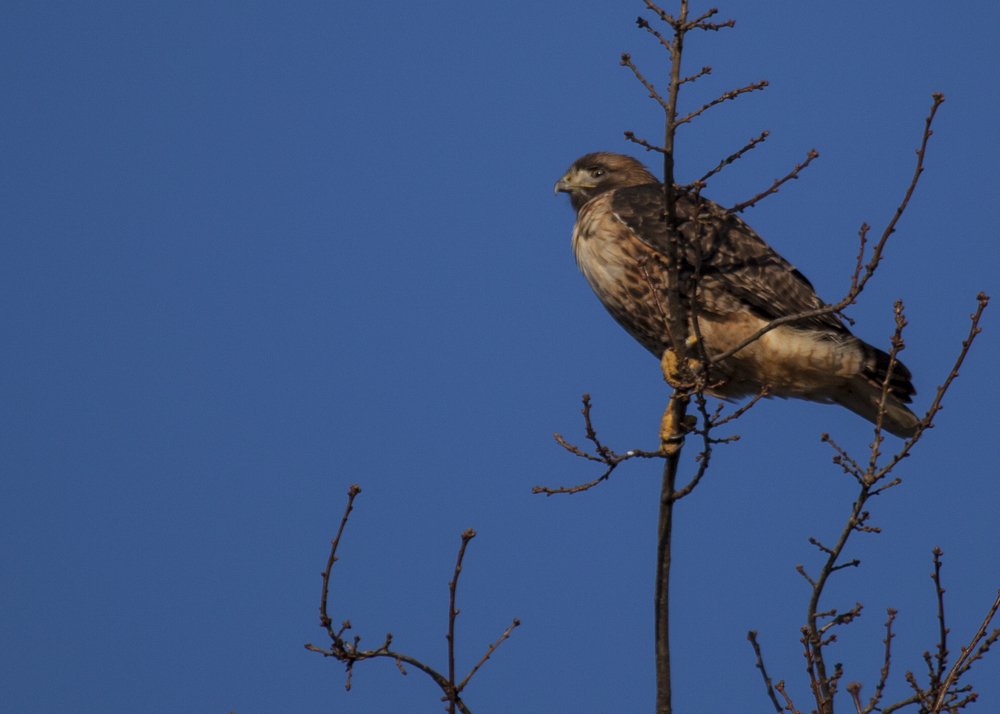 I think a red-tailed hawk.