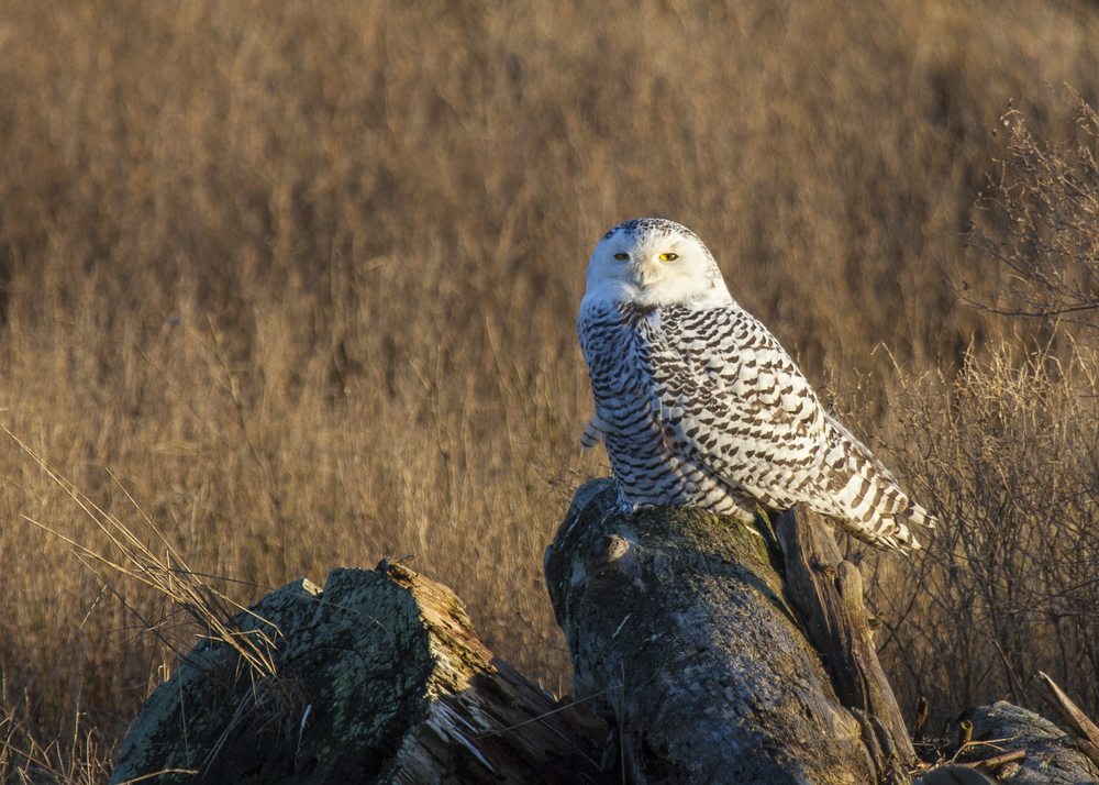 Snowy owl, just chilling out.