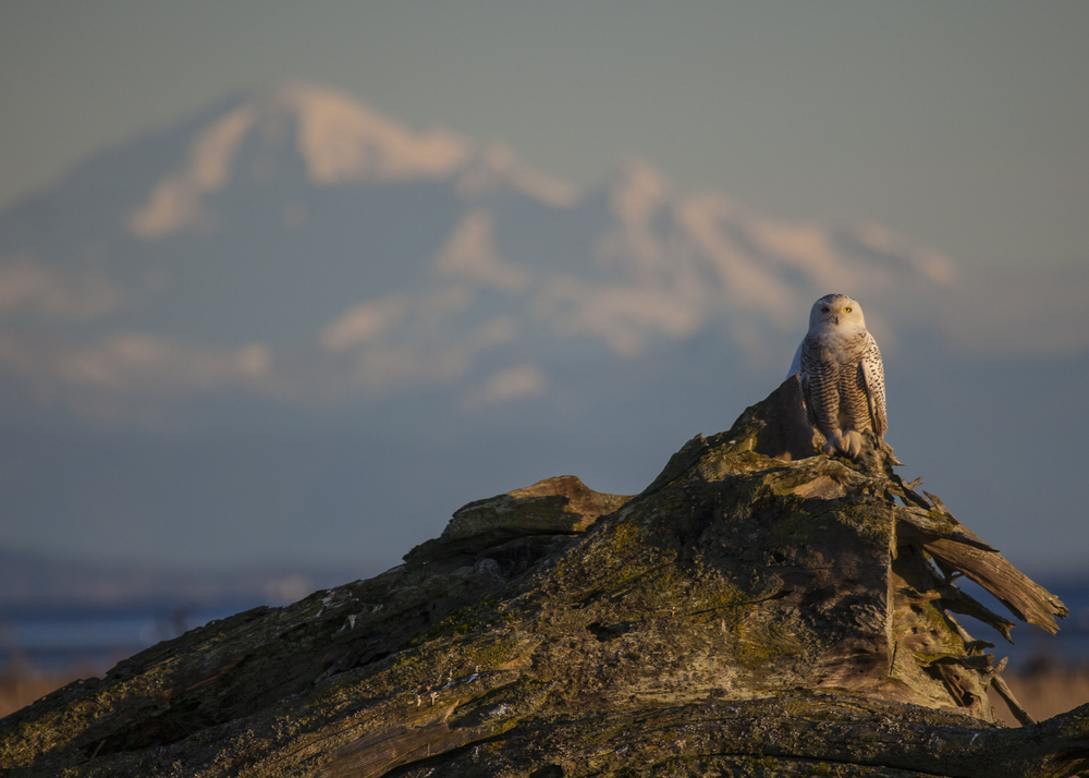 Perched perfectly, with Mount Baker in the background.
