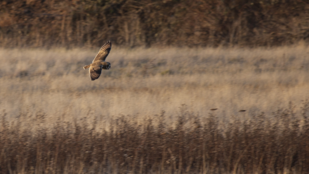 There was even a short eared owl patrolling the marsh.