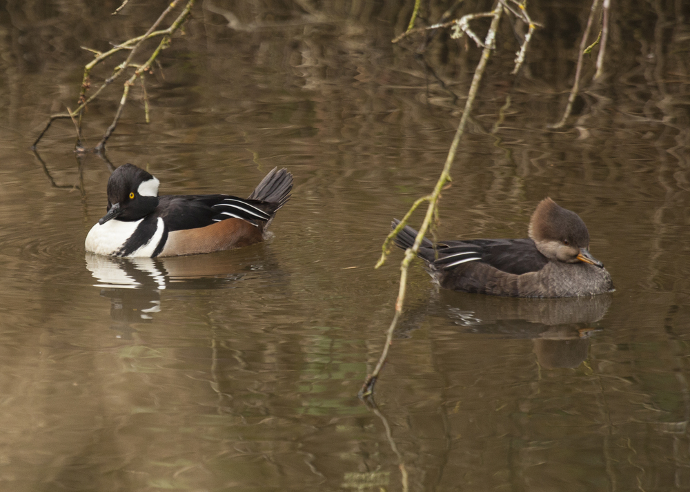 Hooded Merganser, Male and Female