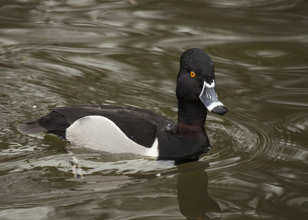 Ring-necked Duck, Male