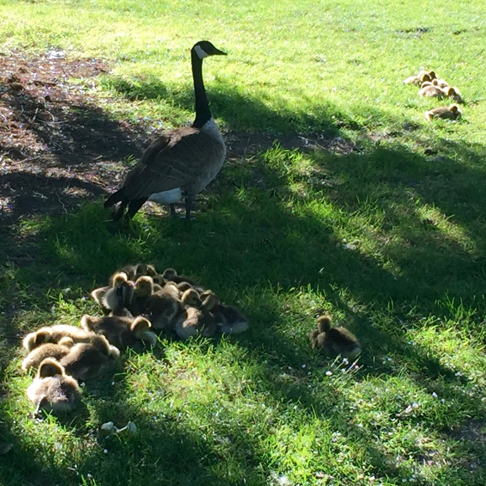 There are a crazy number of small, fuzzy goslings about right now.