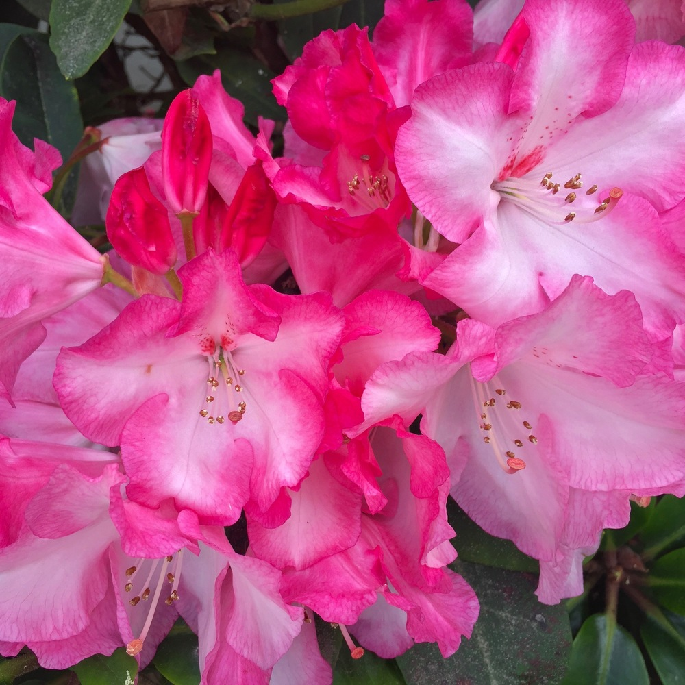 We're pretty much at the end of the rhododendron blooms, but the ones that are around are spectacular.