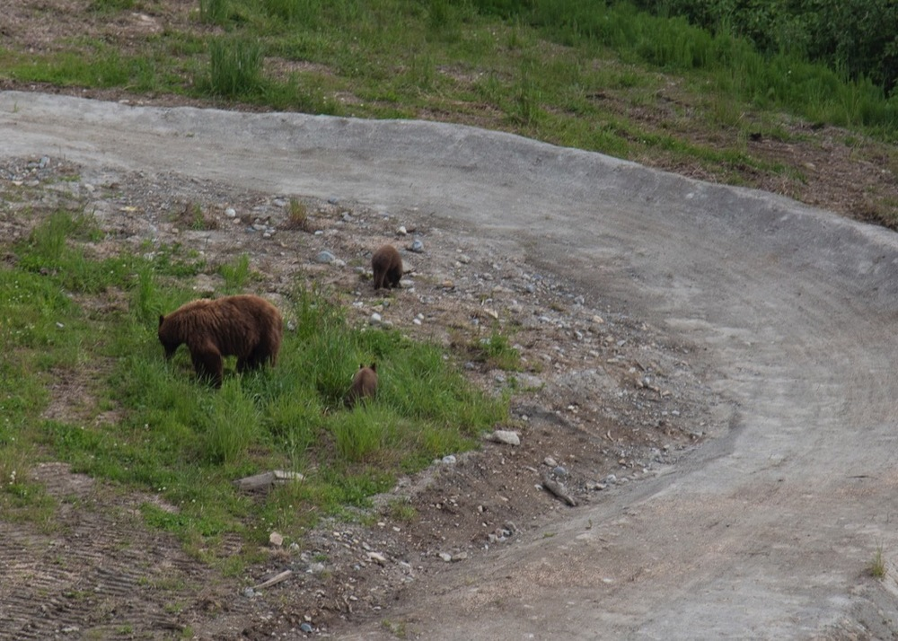 Momma bear and cubs browsing right on the bike trails