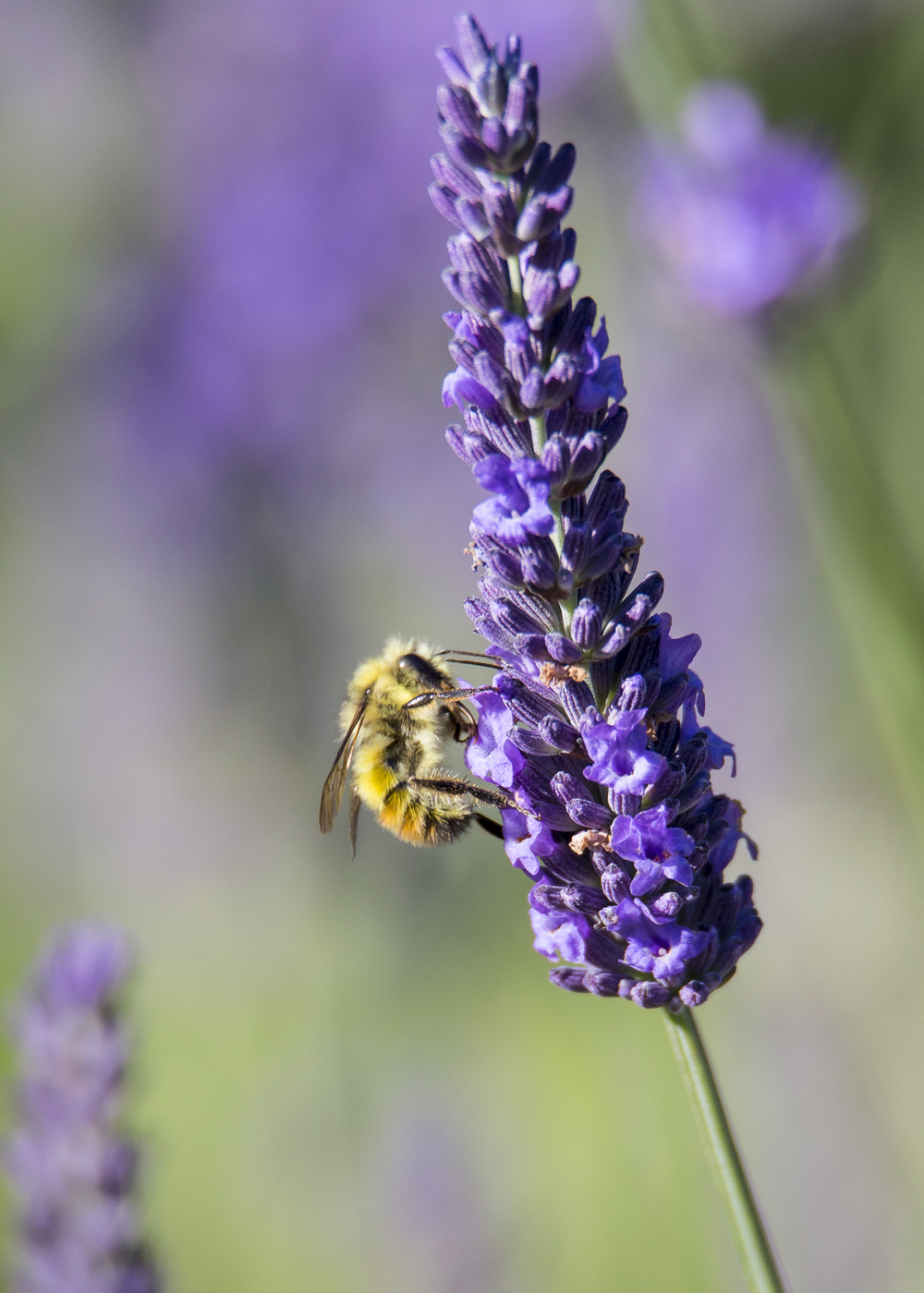 Honeybee on lavender.