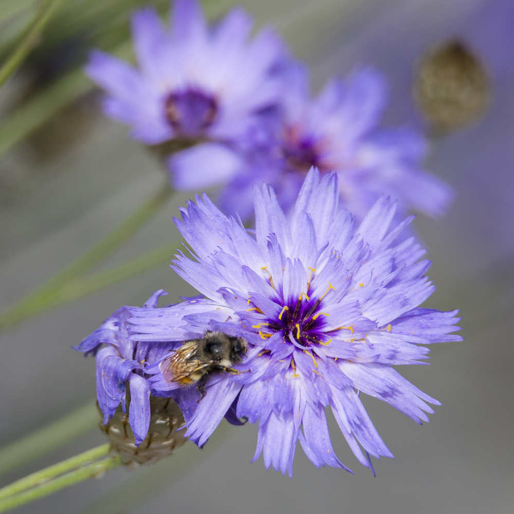 Honeybee in a flower