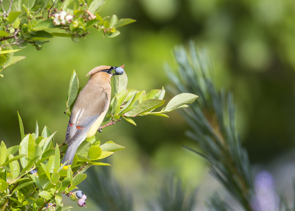 Cedar waxwing, working on the blueberries.
