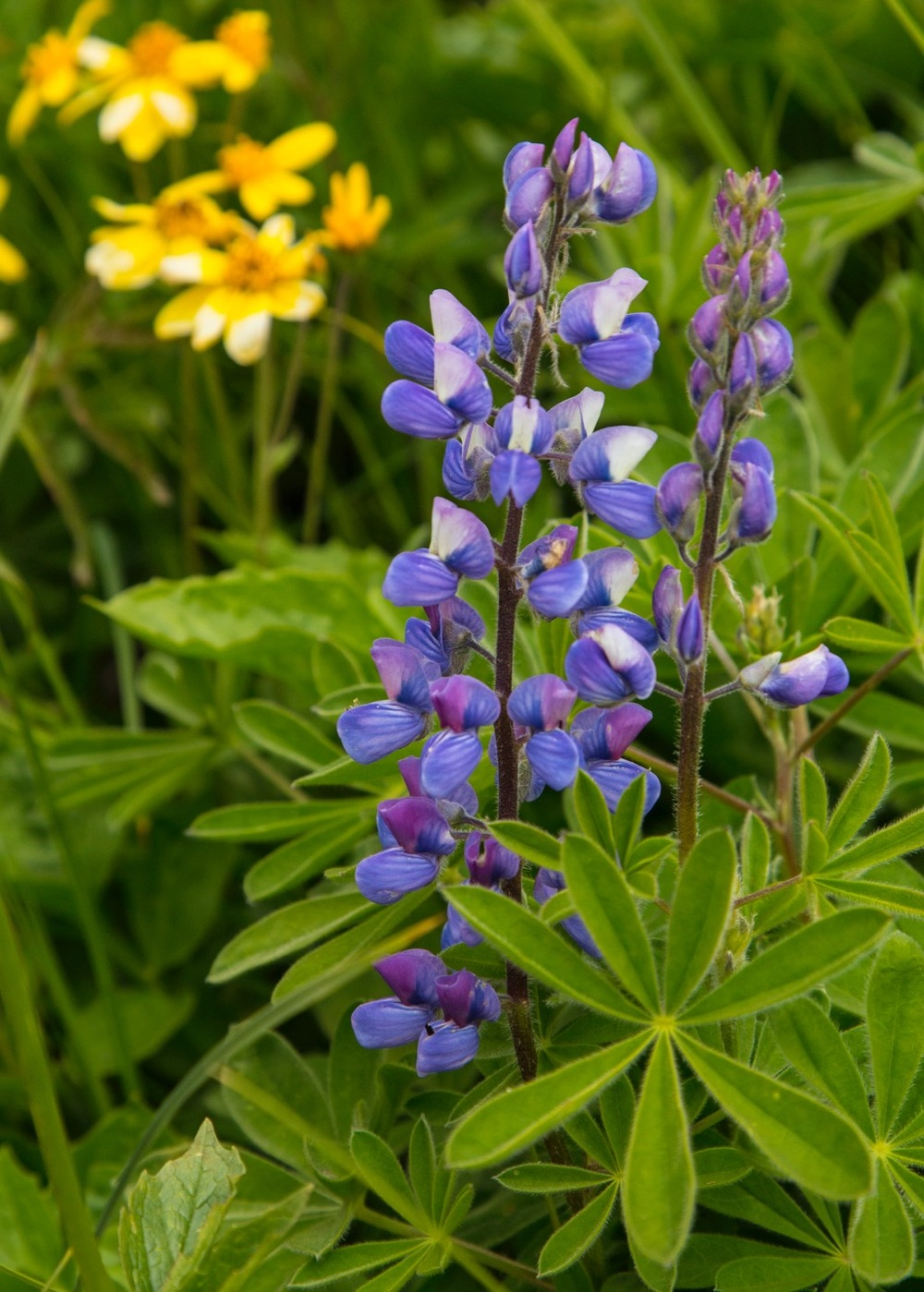 The purple ones are lupin - that much I know!