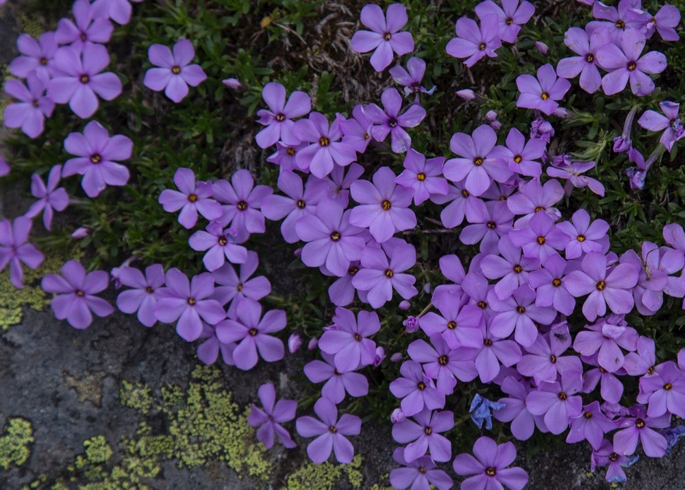 These clusters of purple flowers tended to be on/near rocks, and had the most beautiful colours.