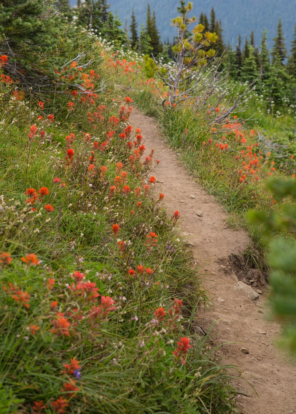 My red wildflowers lined the trail through this stretch of the hike.