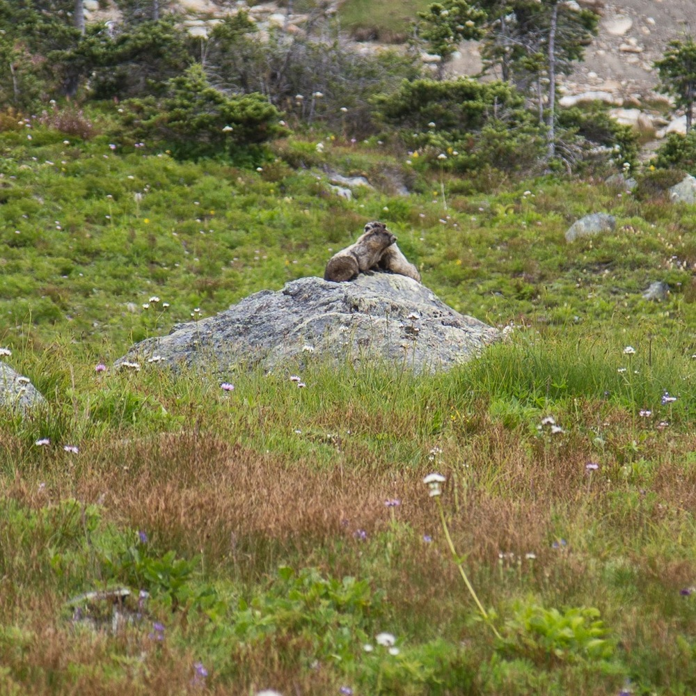 A couple of marmots sharing a rock while the sun sort of came out.