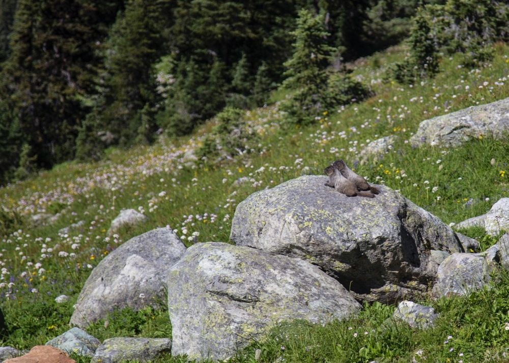A couple of young marmots, sunning themselves.