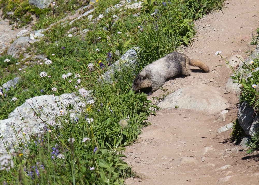 Even with tons of people on the trail. this one marmot was unafraid to use the path too.