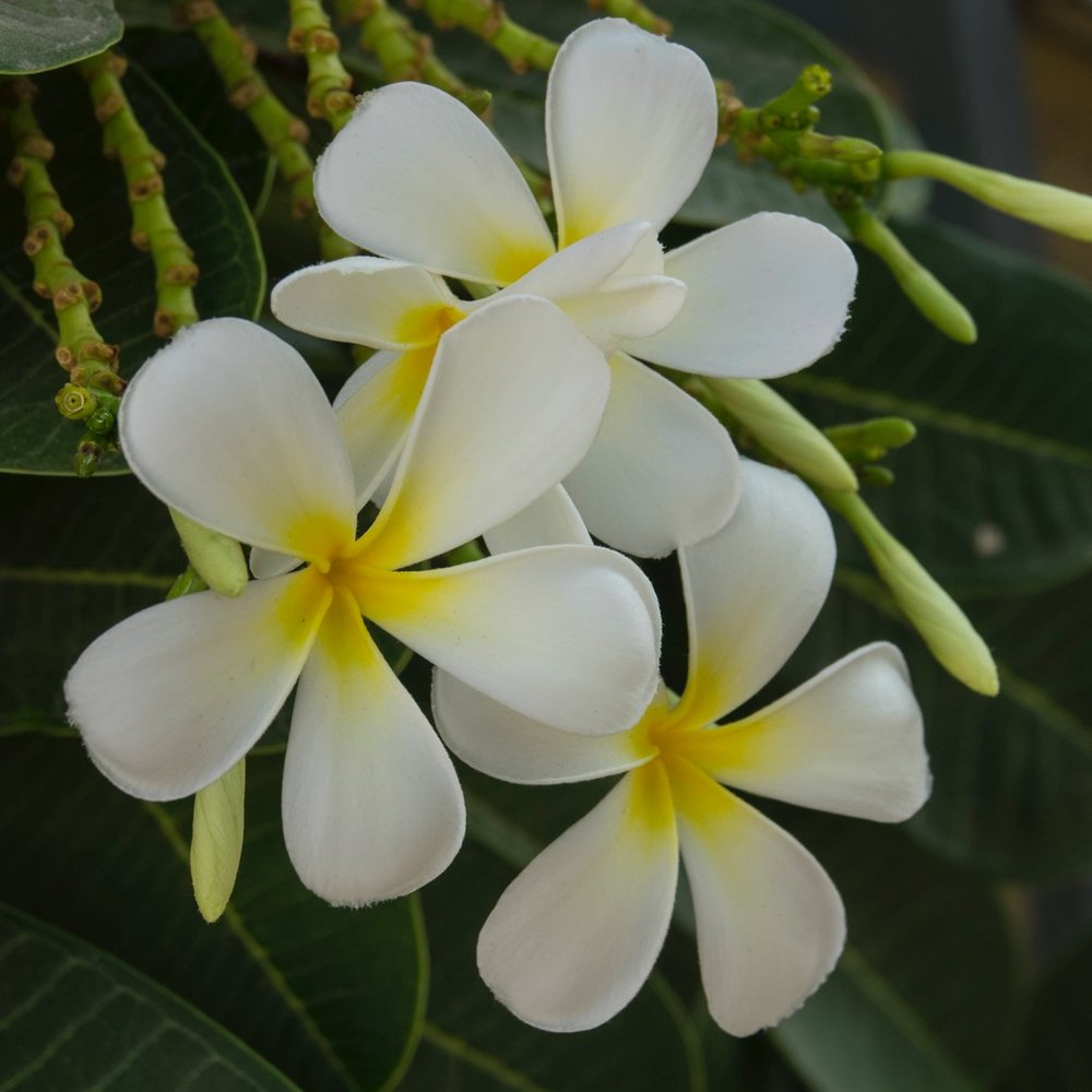 There were plumeria trees everywhere. They are one of Justine's favourites.