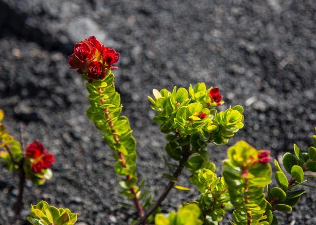 lava flowers