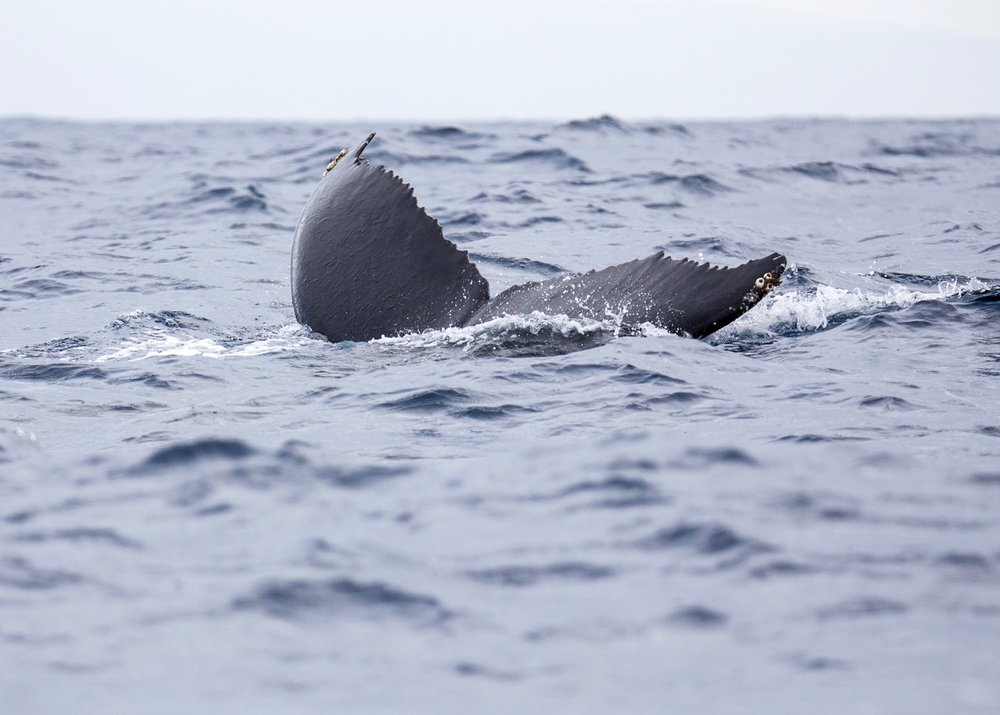 And of course there were lots of tails, as the whales dove under the ocean.