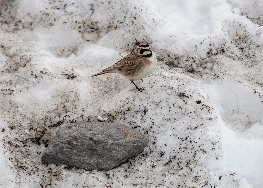 Not sure what this little guy is, but he was finding lots of interest in the snow.