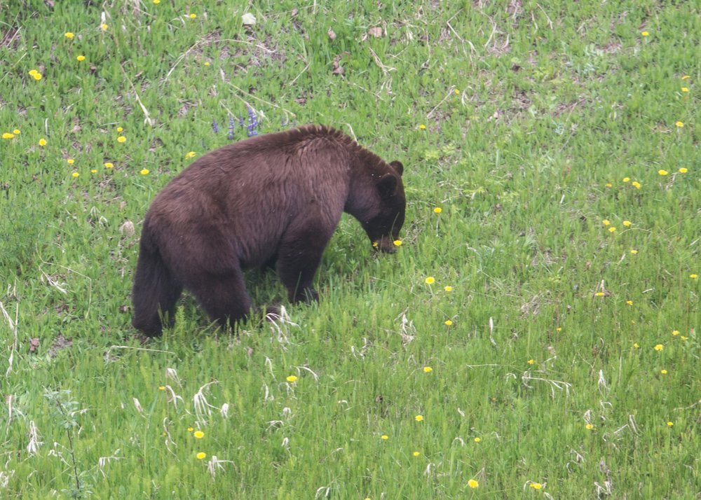 Our one lonely bear sighting this trip.