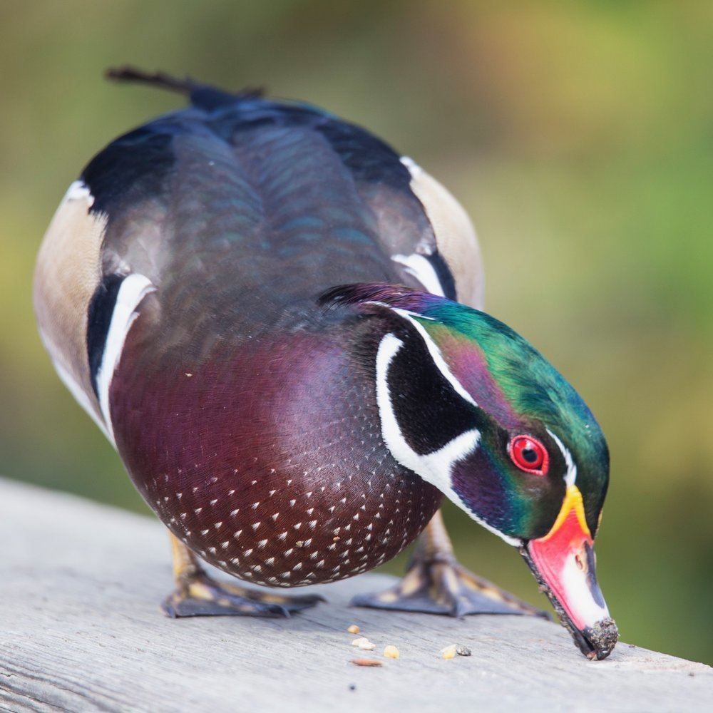 The wood ducks are much braver this year