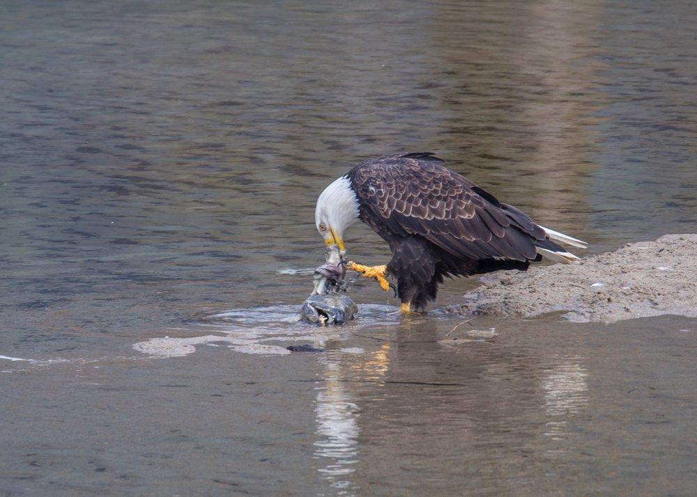 Eagles - 1.jpg