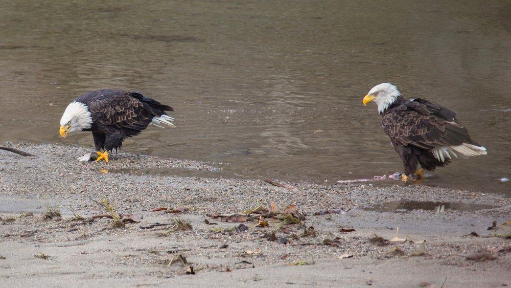 Eagles - 13.jpg