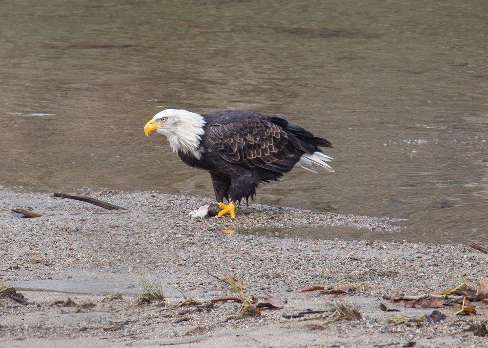 Eagles - 14.jpg