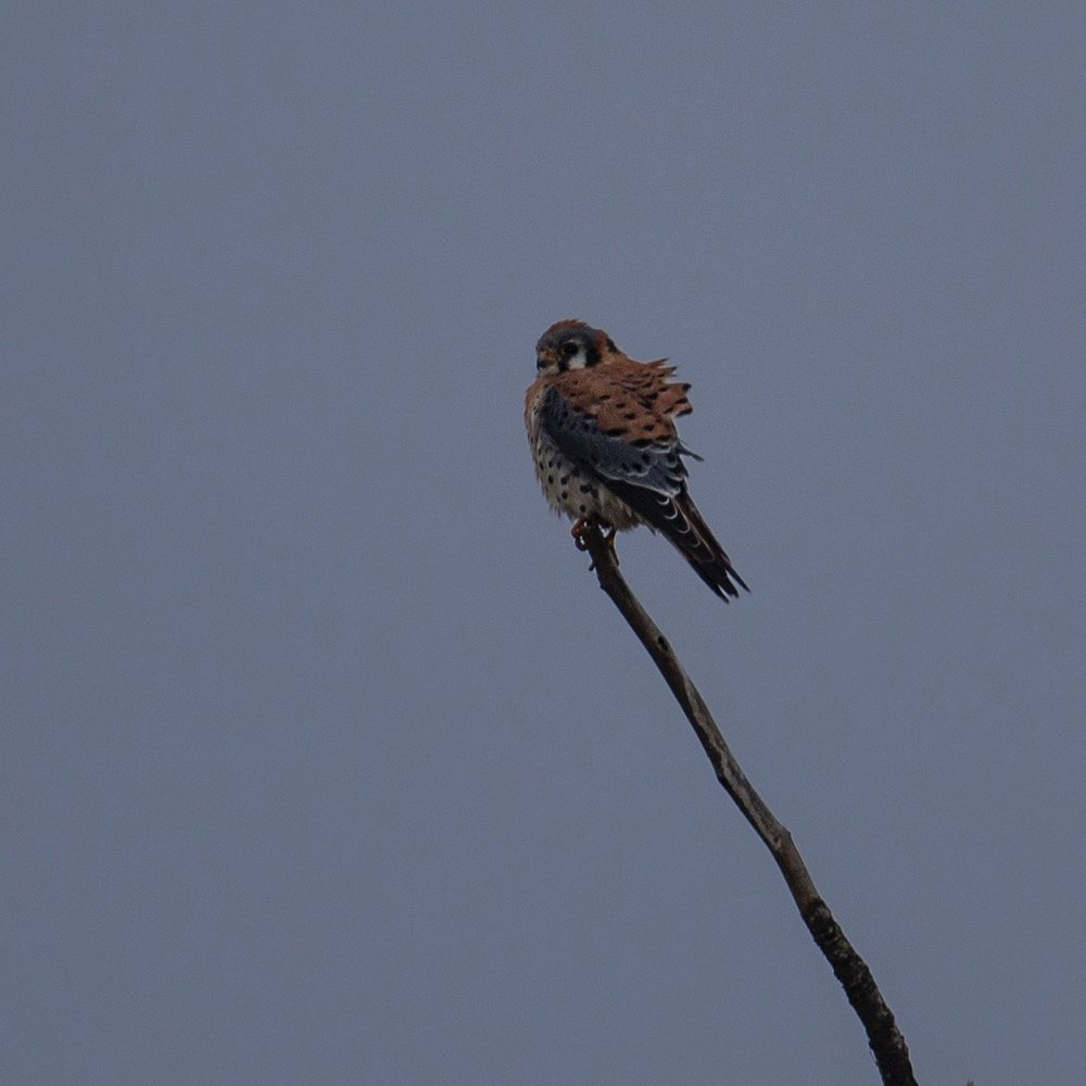 American Kestrel - my first confirmed sighting!