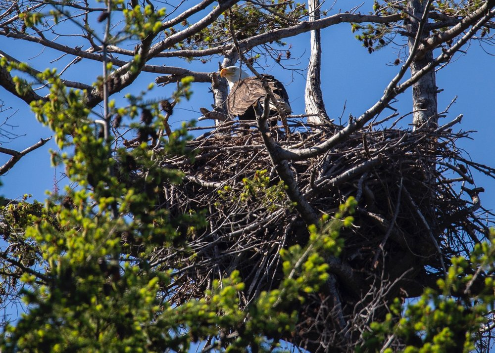 And then we found a bald eagle sitting on its nest.