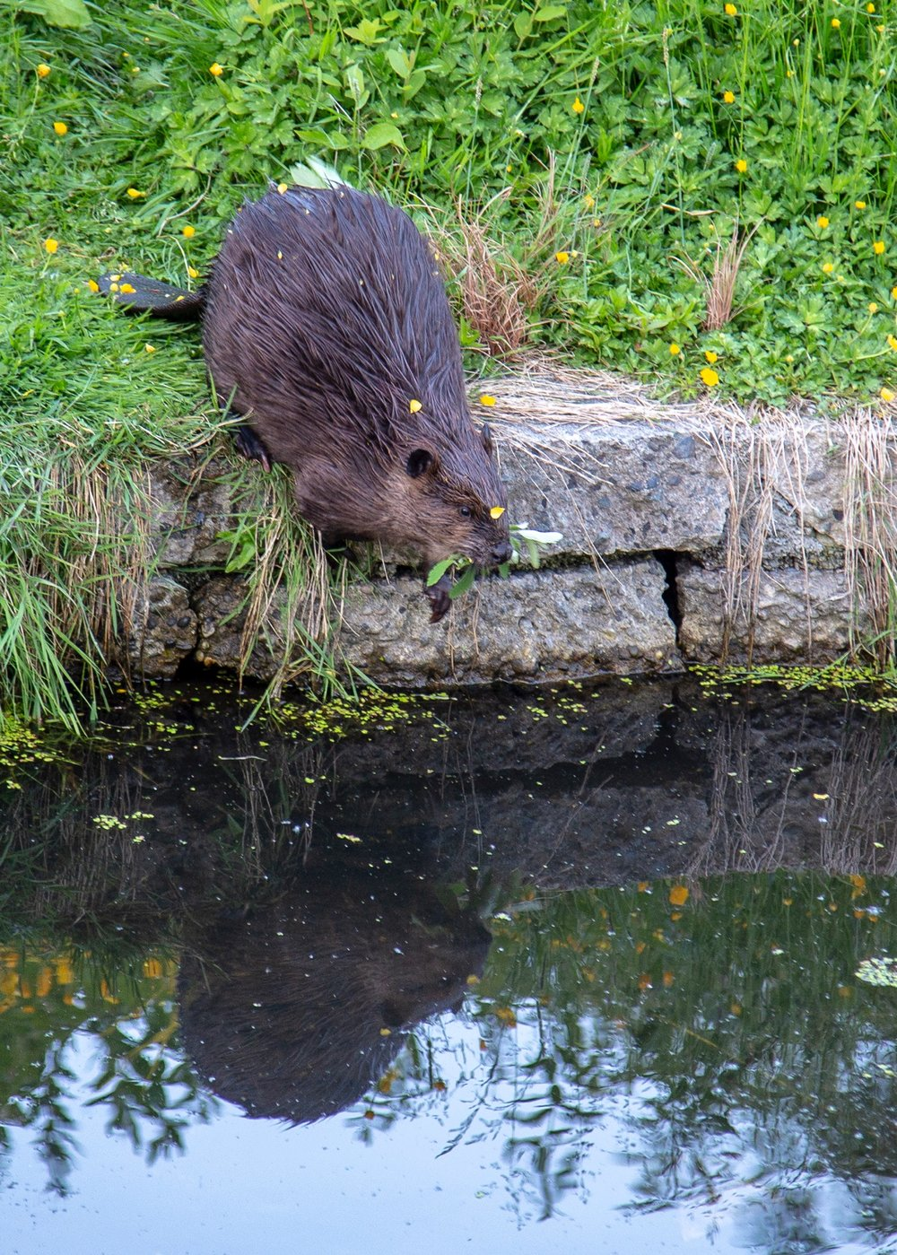 A rare view of one of the beavers out of the water.
