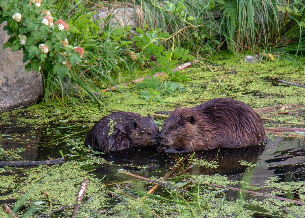 Urban Beavers - 10.jpg