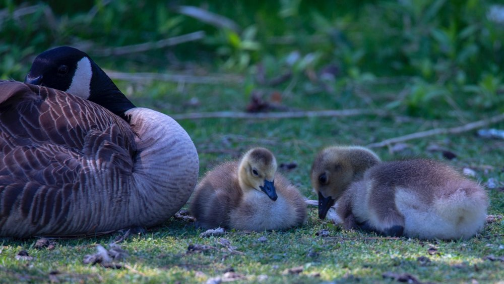 At least as babies, the Canada Geese are cute. Don't stay that way for long...