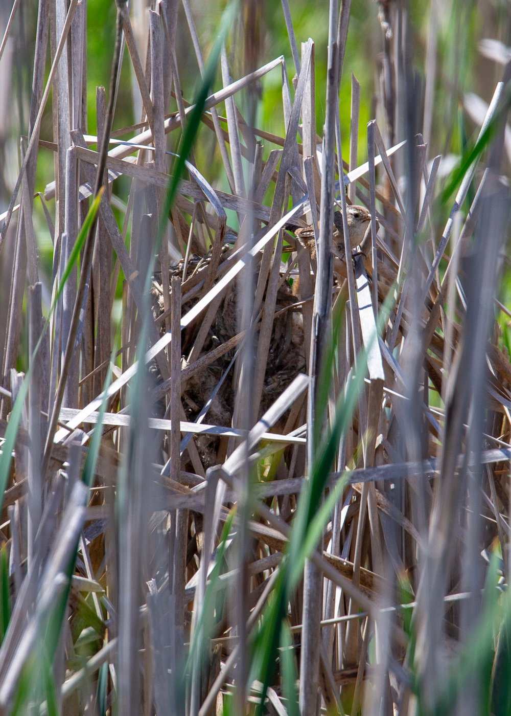 The little marsh wren and his nest.