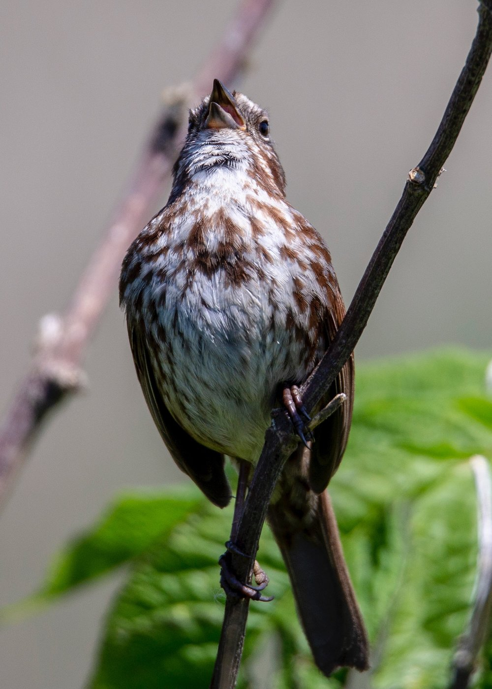 I think this is a Song Sparrow - doing his namesake.