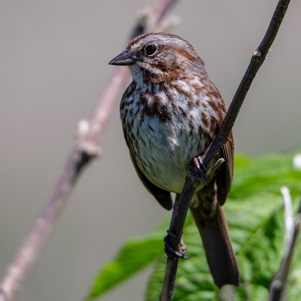 Another look at the Song Sparrow.