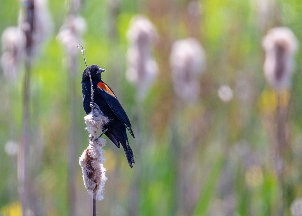 As always, there were lots of red-winged blackbirds about.