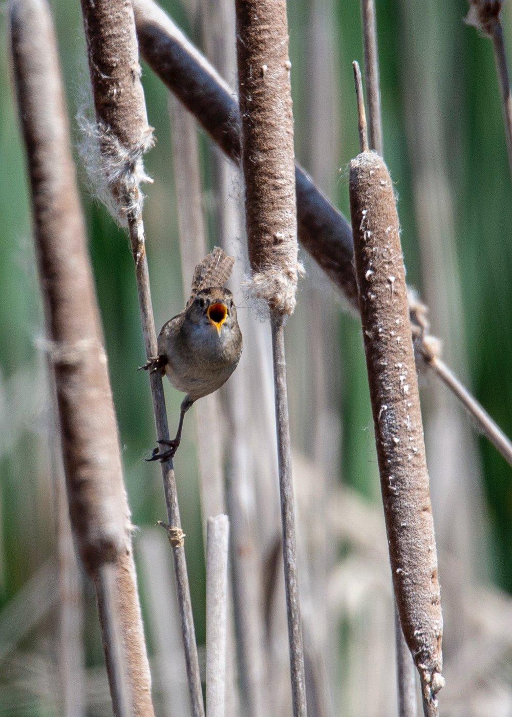 The marsh wren, giving me the business.