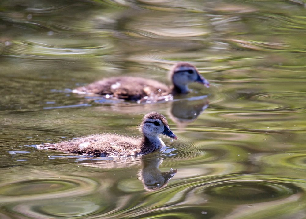 Baby wood ducks in formation.