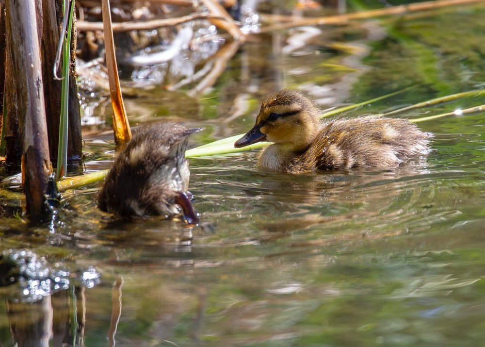 A couple of little mallards foraging for food.