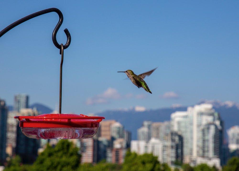Reifeil Hummingbirds - 25.jpg