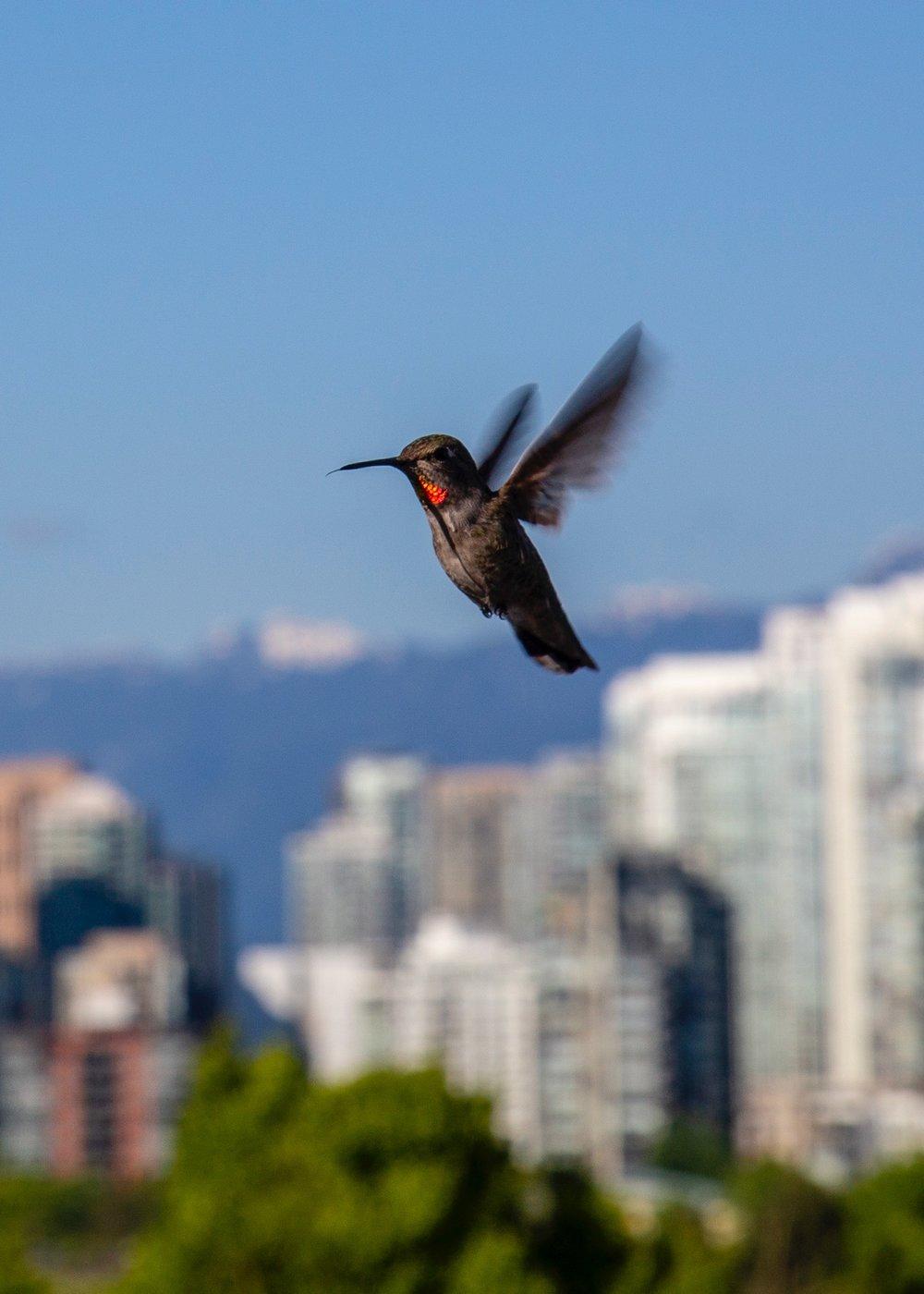 Reifeil Hummingbirds - 26.jpg