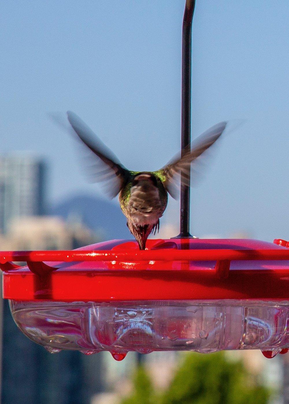 Reifeil Hummingbirds - 27.jpg